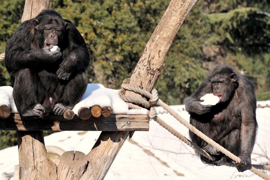scimpanzè bioparco burian