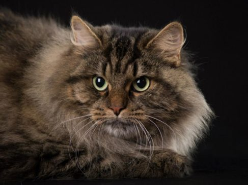 gatto siberiano umbria pet