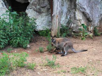 città della domenica, wallaby
