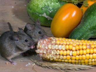 Orribili topi infestano via delle Conce in centro