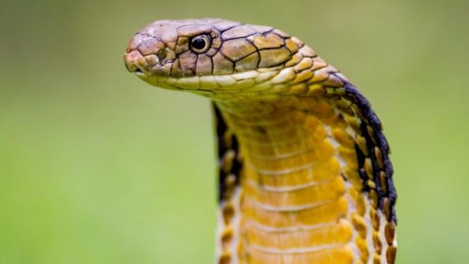 Cobra reale, serpente velenoso più lungo al mondo a Perugia
