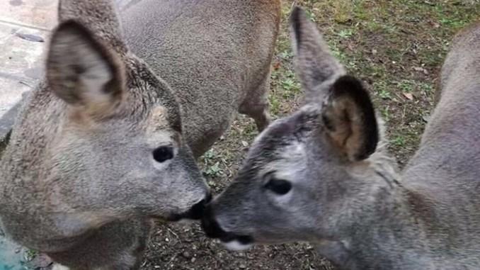 Città di Castello, Caprioli sbranati dai lupi nella notte nell'ambulatorio veterinario