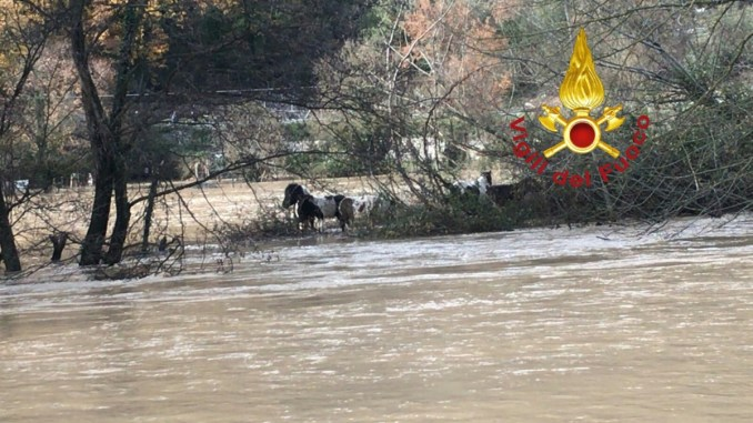 Maltempo, esondato il fiume Nera, terreni allagati, animali in difficoltà