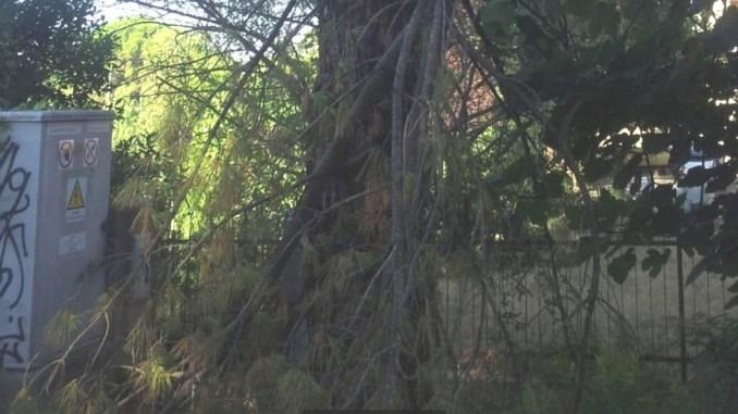 Ramo del pino si schianta a Pieve di Campo nel Ponteggiano