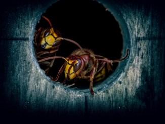 Settanta interventi del vigili del fuoco per calabroni e vespe