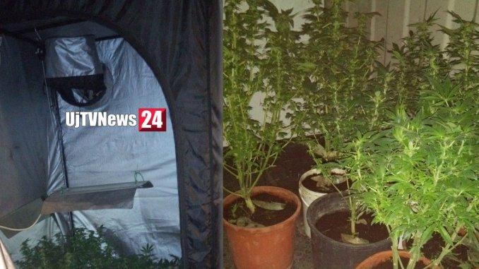Serra di marijuana in casa, arrestata a Resina coppia di coltivatori esperti
