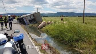 camion-maiali-si-ribalta (9)