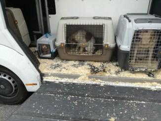 Rottweiler e San Bernardo, polizia blocca camion che trasportava cani cuccioli e adulti