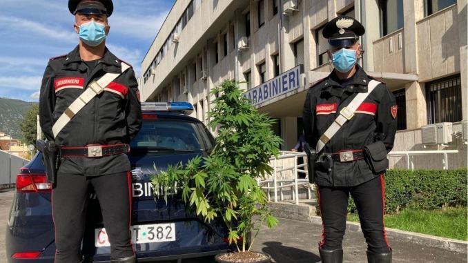 Sequestrata pianta di canapa indiana di quasi un metro e mezzo di altezza