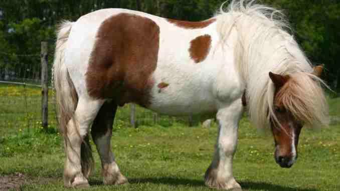 Ritrovata Josefien cavallina pony rubata a Vicenza, era a Tordandrea