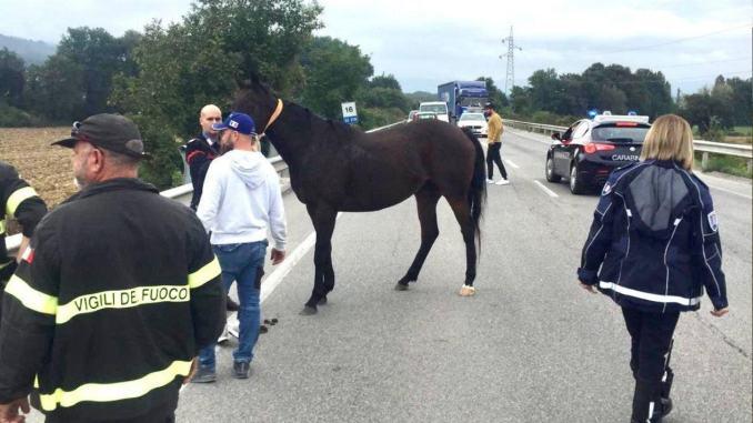 Cavallo a spasso da solo sulla Variante a Gubbio, intervento congiunto per recuperarlo