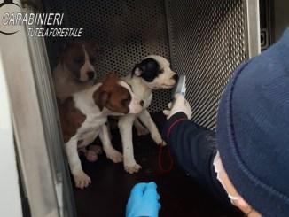 Trasporto illecito di cuccioli, oltre 12 ore di viaggio dentro ad un furgone