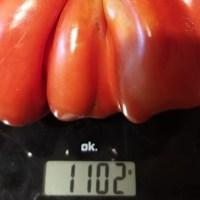 Pomodoro da record in Umbria, è stato raccolto a Montone, da un agente di Polizia locale