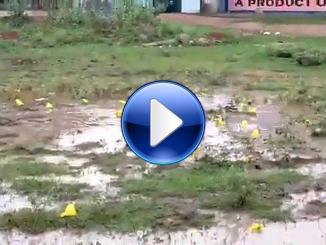 Video diventa virale, Rane gialle filmate nel Madhya Pradesh in India