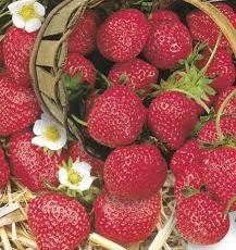 Les fraises de Patricia