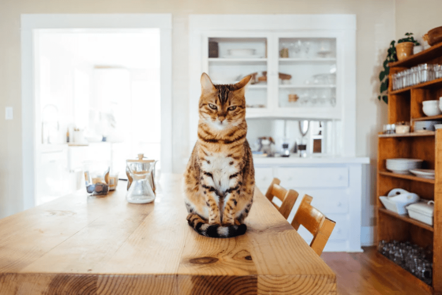 cat above the table