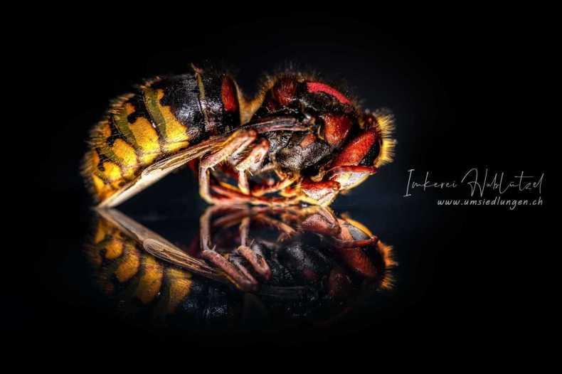 der lebenszyklus einer Hornisse