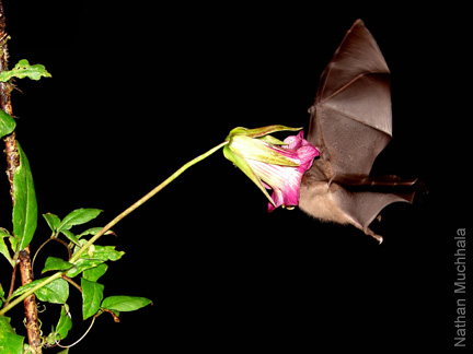 Image result for bat flower pollination