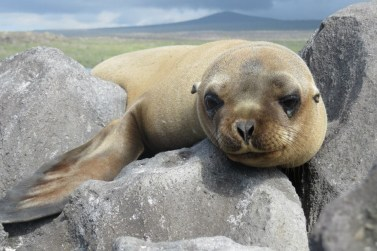 A sea lion in the Galápagos Islands, where Maticic studied sustainability and animal conservation. Photo by Nikki Maticic.