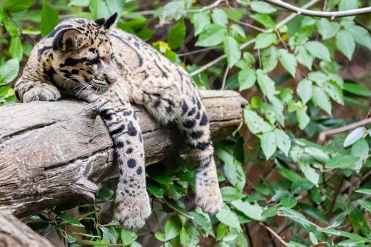 From their residence hall, Ramirez and Lichter can hear wolves, whooping cranes, zebras and clouded leopards like the cub seen here. Photo by Lathan Goumas/George Mason University Office of Communications and Marketing.