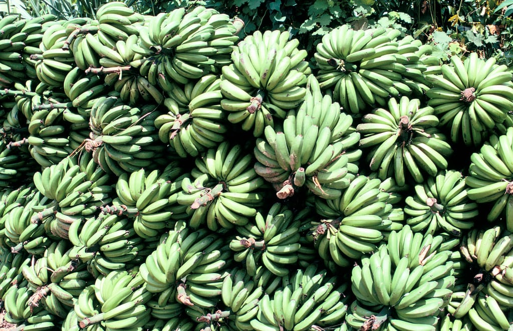 Bananas de Madagascar. Foto: Banco Mundial