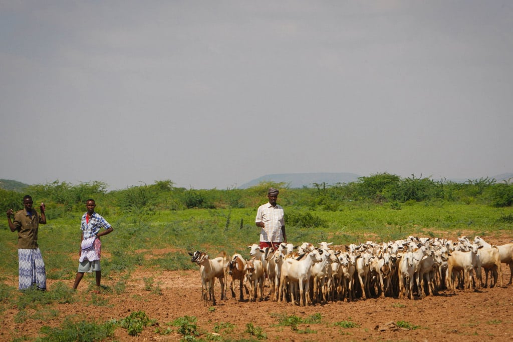 Livestock herders on the outskirts of a small market in Belet Weyne, Somalia