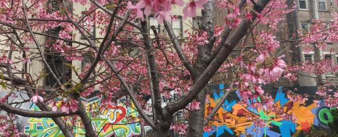 Photo:Trees bloom in an East Village, Manhattan, park on 20 March.