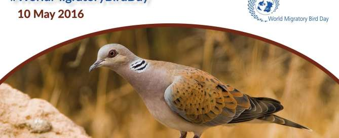 Photo:The population of European turtle doves, seen here, has declined by 30 per cent throughout Europe since the start of the millennium and in some countries by as much as 80 per cent.