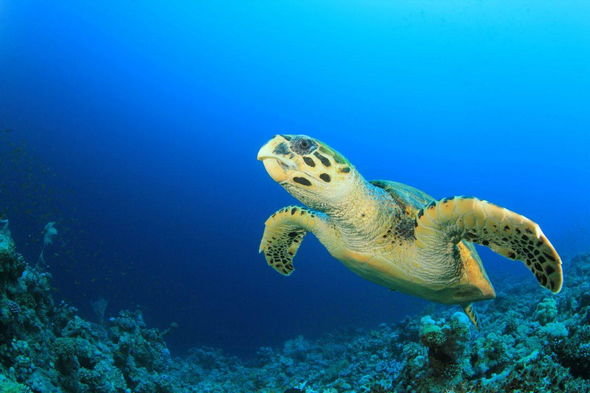 Image: Sea turtle