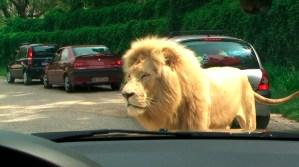 leone parco natura viva