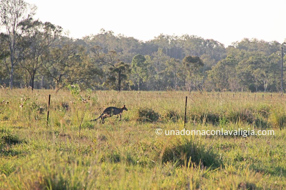 Canguro in the wild