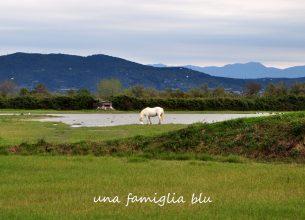 cavallo camargue isola della cona