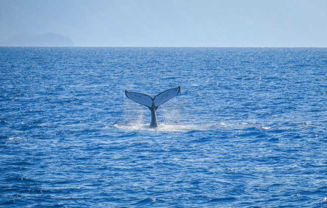 Baleine dans la Grande Barrière de Corail