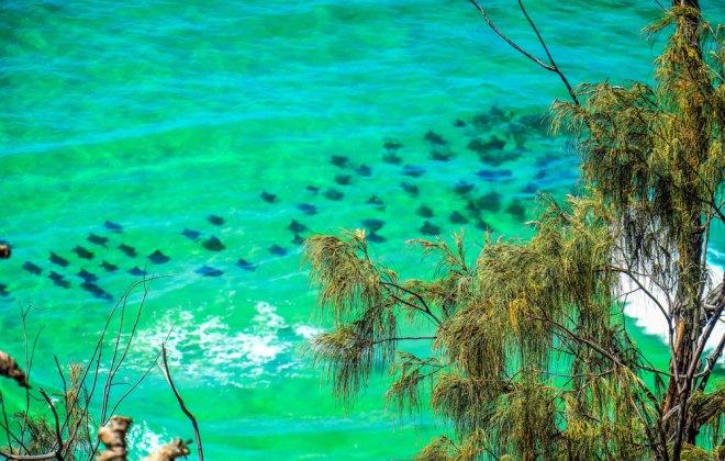 Banc de raies depuis Indian Head à Fraser Island