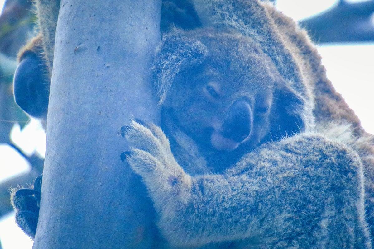Bébé Koala Stradbroke Australie
