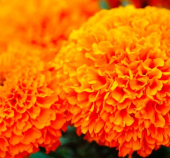 flores_cempasuchil