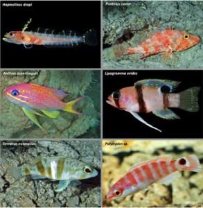 Representación de peces del caribe que habitan la zona rarofótica en Curazao
