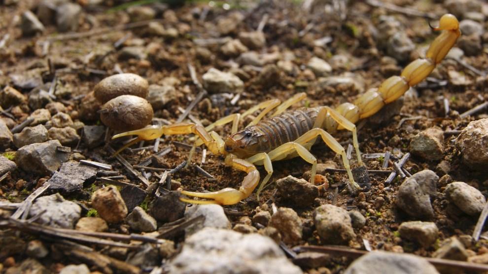 Escorpión-veneno-contra-infecciones-UNAMGlobal