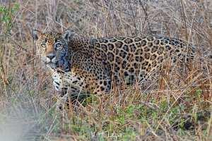 Apadrina-un-jaguar-en-Nayarit-UNAMGlobal