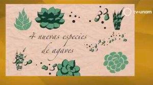 descubrimiento-cuatro-nuevas-especies-agaves-UNAMGlobal