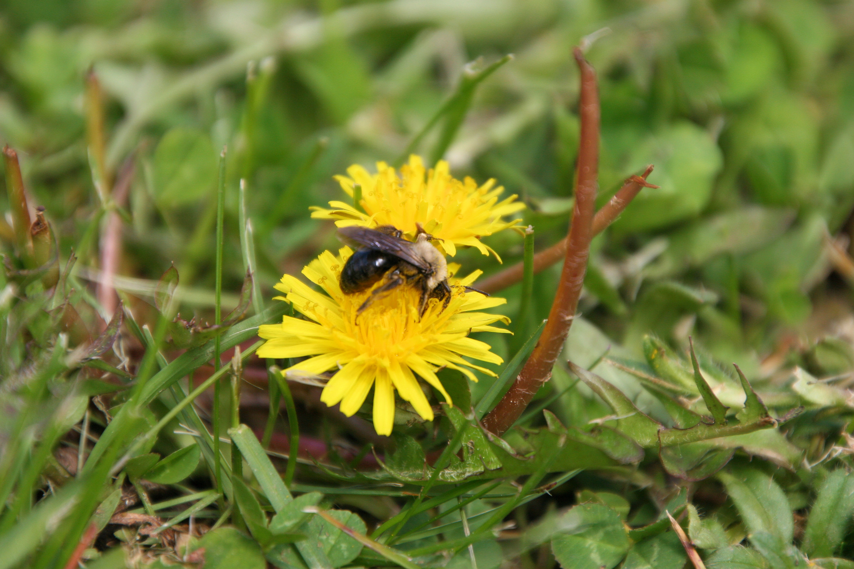 A Flowering Lawn: Bees and Dandelions