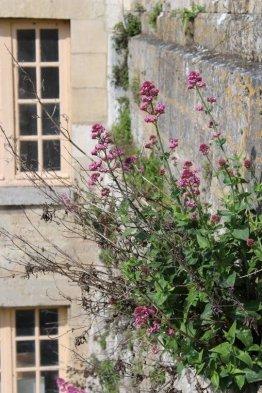 Lilas d'Espagne chateau de la roche guyon