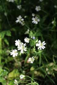 fleurs sauvages des etangs de corot