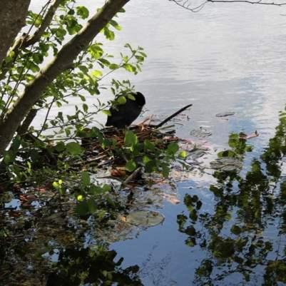 poules d'esu des étangs de Corot