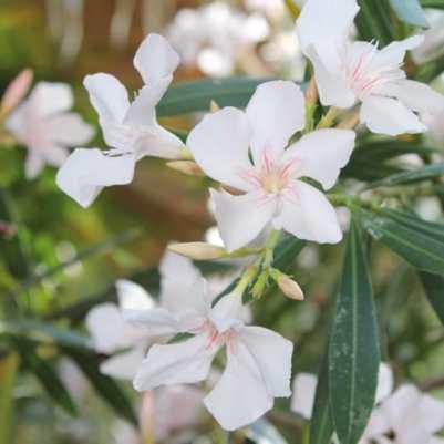fleurs de lauriers blanches
