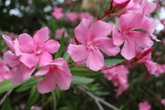 fleurs de lauriers roses