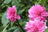 Dahlias Giverny
