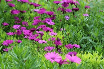 fleur Giverny