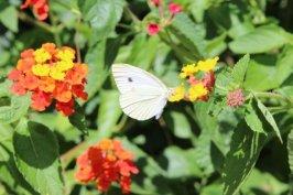 lantana et papillon