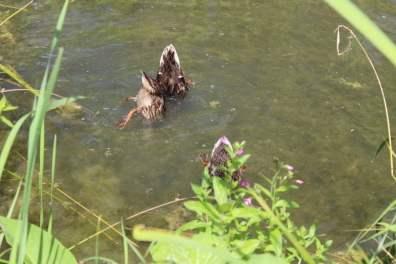 canards tete dans l'eau